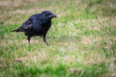 black crow wading through the grass