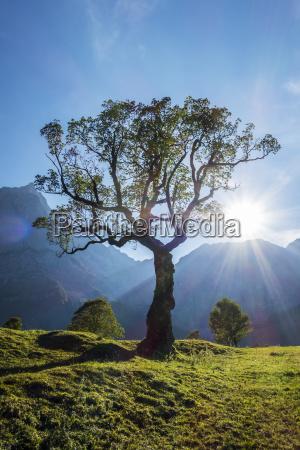 maple in the alps karwendel