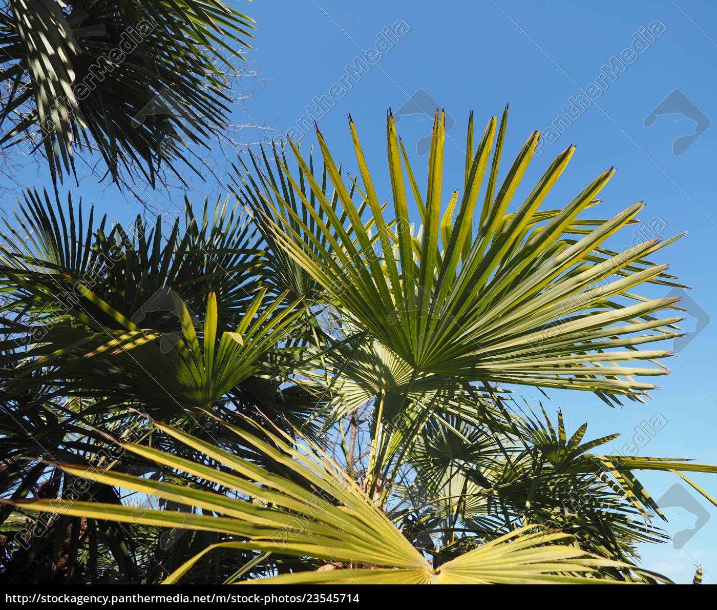 Palm Tree Leaves Background Stock Image 23545714 Panthermedia Stock Agency
