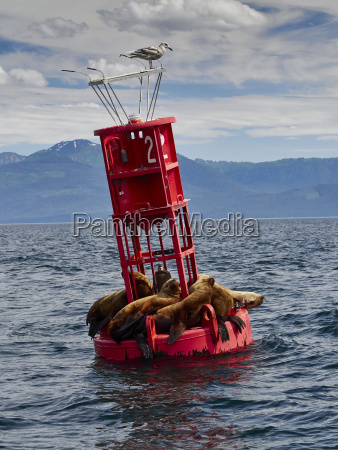 sea lions hitch a ride on