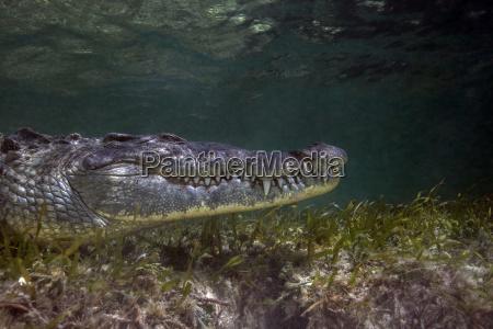 mexico american crocodile under water