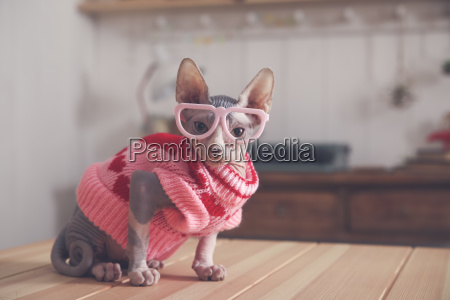 portrait of sphynx cat on table