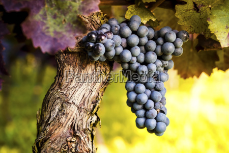 red grapes hanging from vine