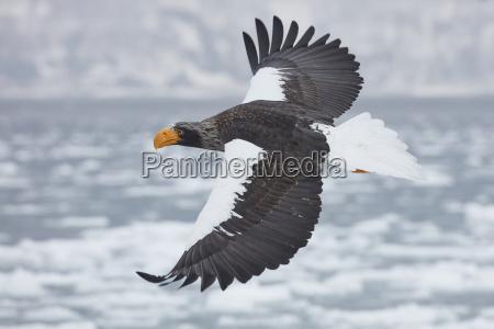 stellers sea eagle haliaeetus pelagicus flying
