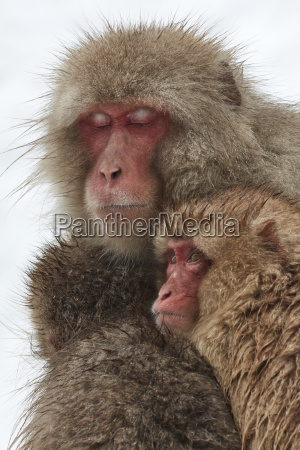 japanese macaque macaca fuscata mother and