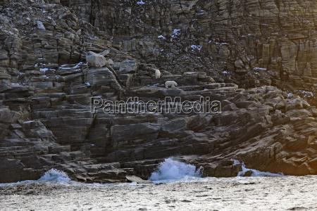 polar bears on a remote island