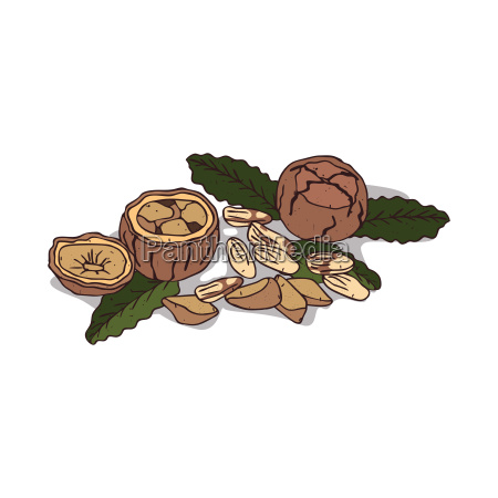 isolated clipart brazil nut