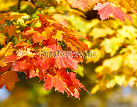 orange autumn leaves background with very