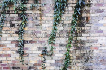 creeper plant and brick wall