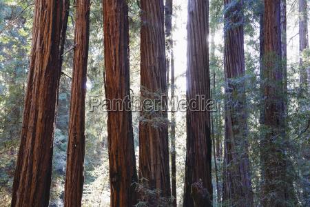 usa california muir woods national park