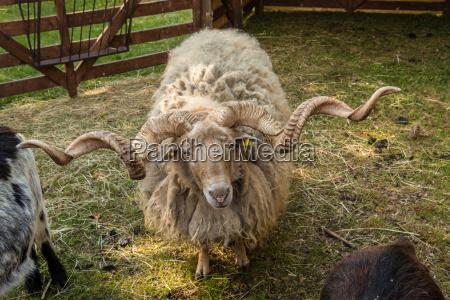 shaggy racka sheep with big twisted