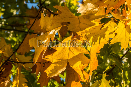 autumn mood with yellow leaves on