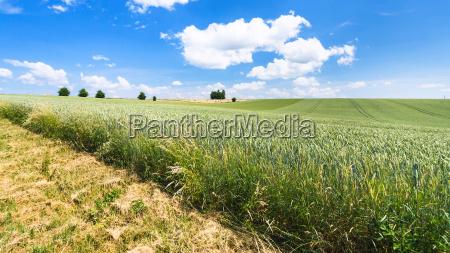 edge of green wheat field in
