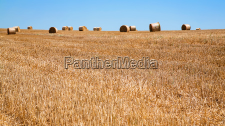 harvested field with stacks of straw
