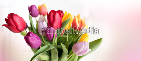 colorful tulips on tender pink background