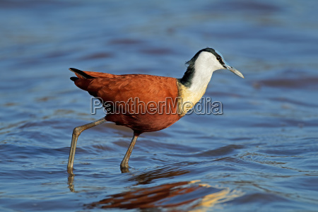 african jacana in shallow water