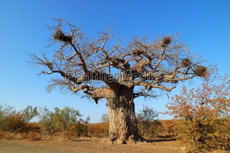 baobab tree kruger national park
