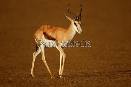 springbok antelope after the rain