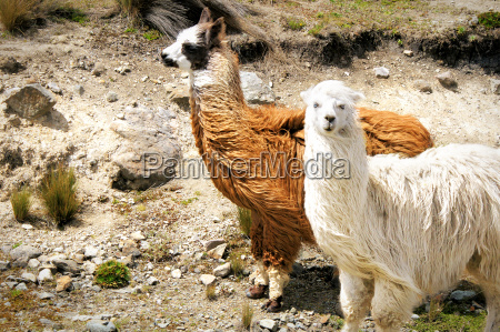 two guanakos with long fur