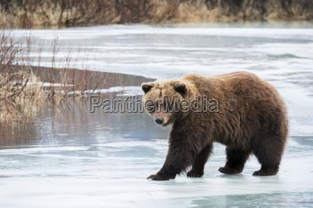 brown bear ursus arctos crosses the