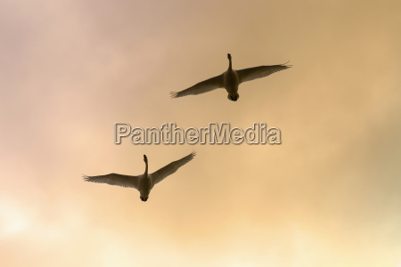 two trumpeter swans gain altitude as