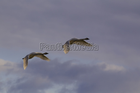 a pair of trumpeter swans gain