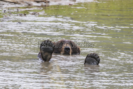 brown bear ursus arctos plays in