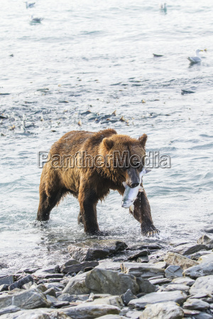 a male brown bear ursus arctos
