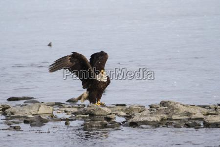 a mature bald eagle haliaeetus leucocephalus