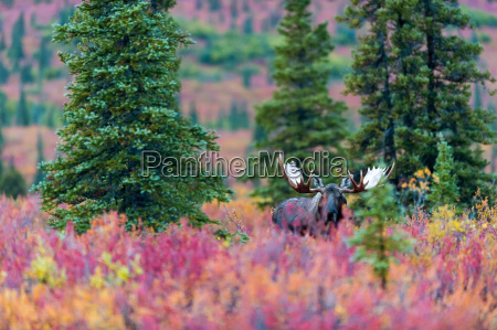 moose bull in the autumn coloured