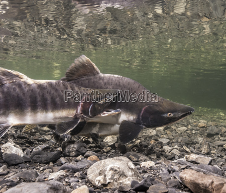 underwater view of a pink salmon
