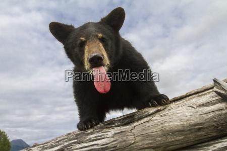 black bear cub ursus americanus with