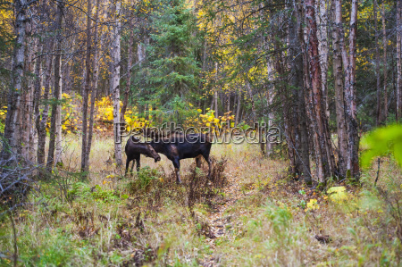 the large bull moose alces alces