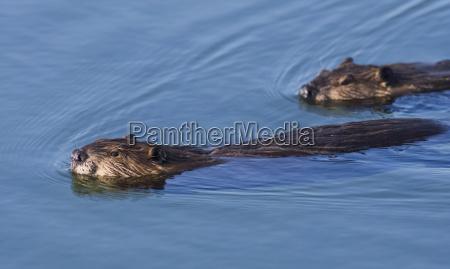 north american beaver castor canadensis pair
