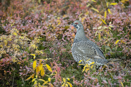 spruce grouse falcipennis canadensis in fall