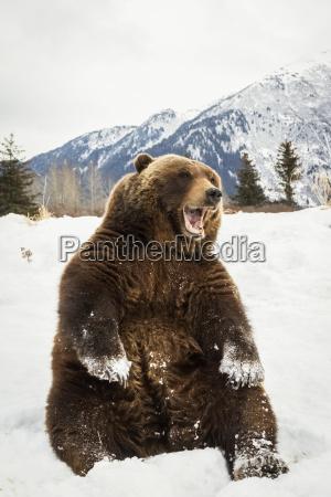 grizzly bear ursus arctos horribilis sitting
