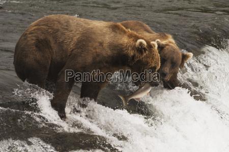 a brown bear ursus arctos catching