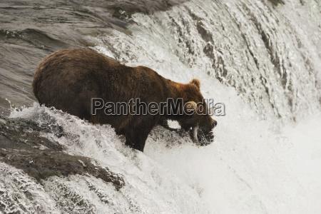 a brown bear ursus arctos standing