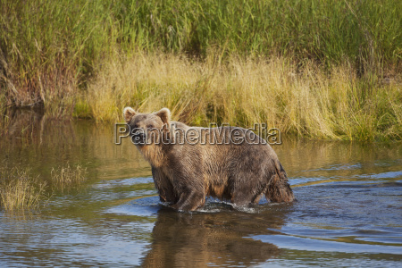 brown bear ursus arctos wading in