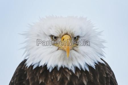 portrait of a bald eagle puffed