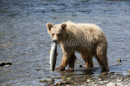 a young brown bear looks at