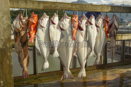 fish are hung and ready to