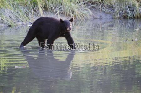 walking black bear ursus americanus reflected