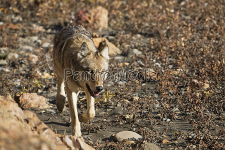 gray wolf canis lupus walking on