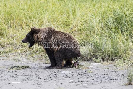 immature brown bear ursus arctos at