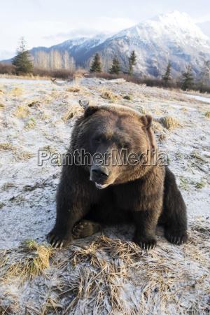 close up of brown bear ursus