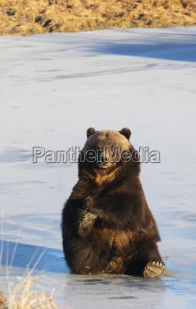 adult brown bear ursus arctos captive