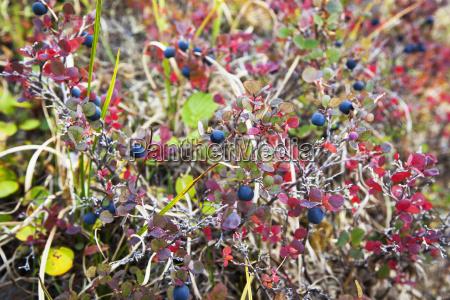 lowbush blueberry in autumn colors near