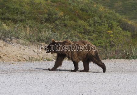 grizzly bear ursus arctos horribilis walking
