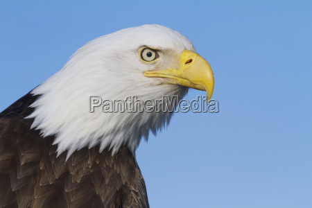 bald eagle haliaeetus leucocephalus with smooth